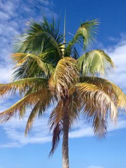 jamaicapalmtree